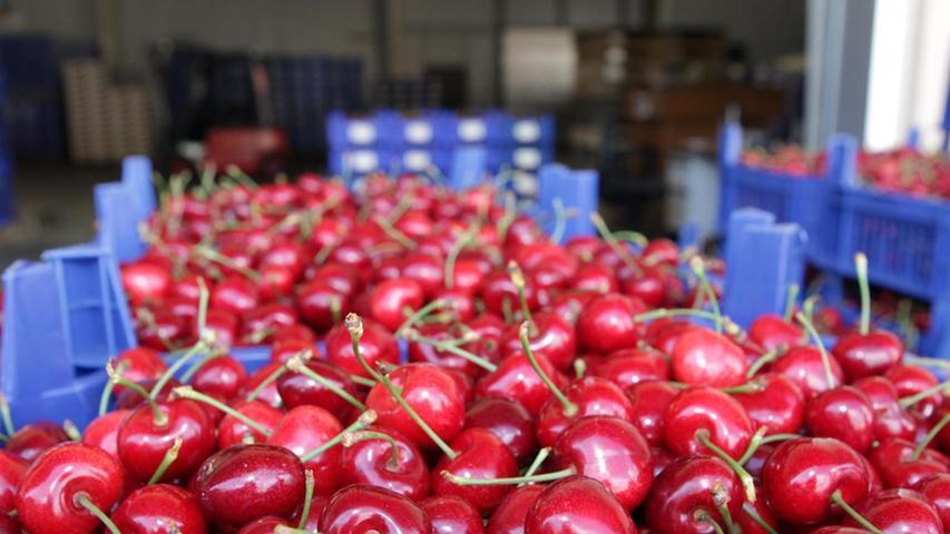 Eine eindeutig oberfränkische Domäne in Bayern ist der Süßkirschenanbau. Die Früchte wuchsen im Jahr 2019 auf 564 Hektar in Bayern, davon 349 in Oberfranken. Auch mittelfränkische Obstbauern sind hier mit 95 Hektar noch relativ aktiv. Bayernweit wurden 3386,3 Tonnen geerntet.