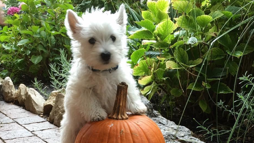 Dieser kleine Hund posiert hier mit einem besonders schönen Kürbis. Einfach nur süß!