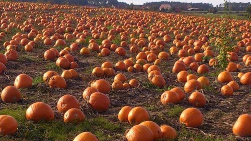 Herbstsonne und zig Kürbisse auf dem Feld: Einfach herrlich!