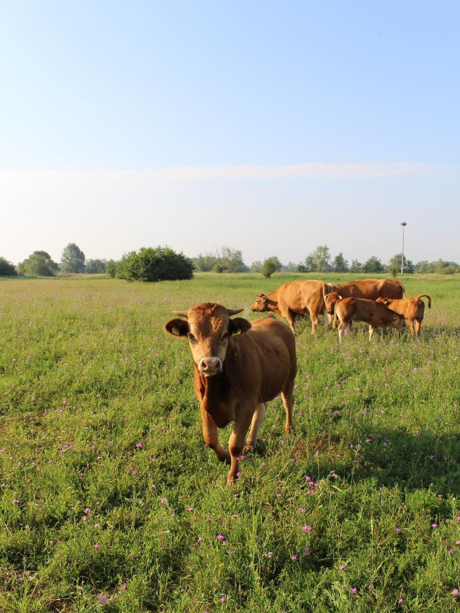 FOTO: privat MOTIV: Kühe von Herbert Gutmann (56), Biobauer aus Laubenzedel, auf der Vogelinsel Muhr am See Rind, Kalb, Mutterkuh, Bulle, extensive Weidewirtschaft, Beweidung