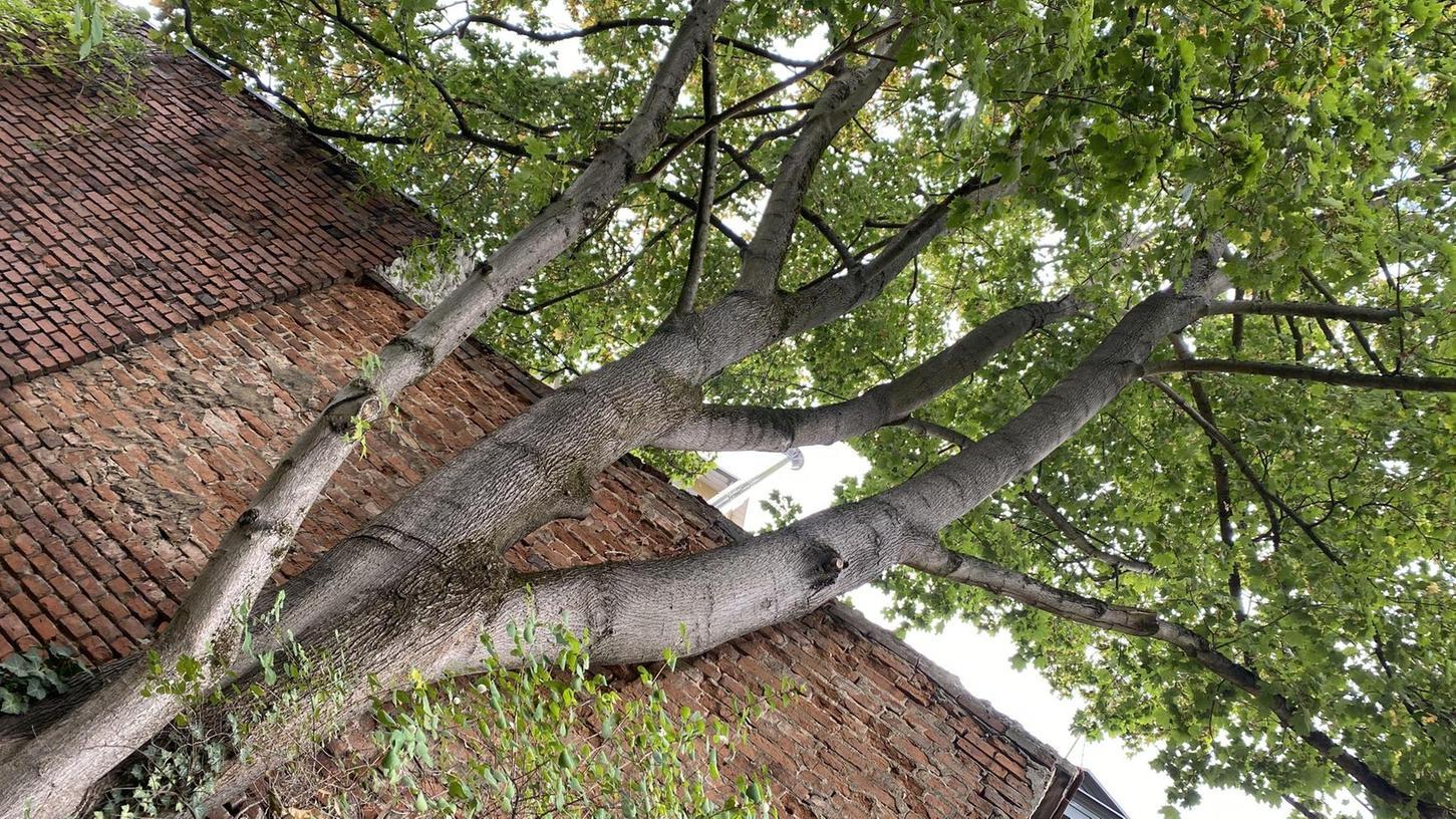 Dieser sehr alte und hohe Baum in der Erlanger Luitpoldstraße sollweg. Das hat das Amtsgericht entschieden.
