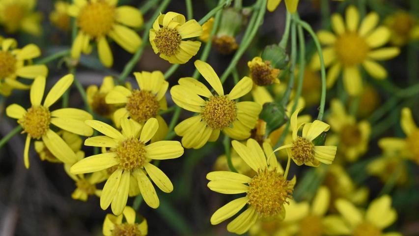 Die Blüten sehen zwar hübsch aus, sind aber giftig. Wenn Bienen von den Pollen naschen, ist der Honig nicht mehr zu gebrauchen.