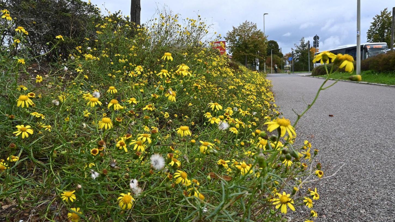 Überall an Weges- und Straßenrändern, wie hier in Bubenreuth, sind die gelb blühenden Kreuzkräuter zu finden.