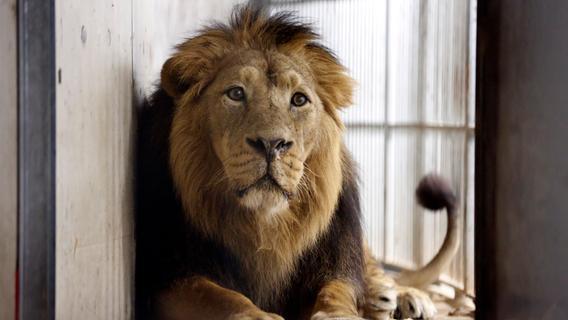 Tod des Löwen Subali sorgt für hitzige Debatten auf Social Media