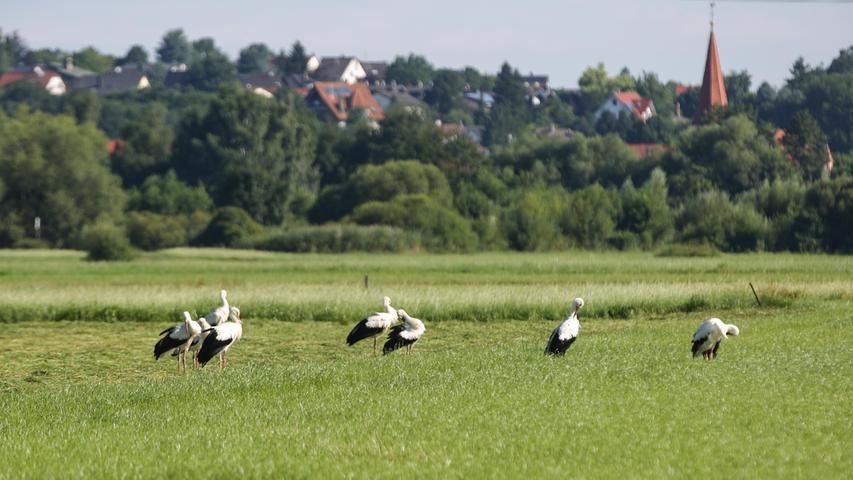 Storchenversammlung im Wiesengrund zwischen Stadeln und Vach