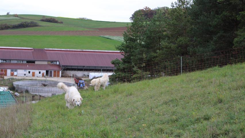Sofort übernehmen die Herdenschutzhunde ihren Job, suchen das Gelände nach Gefahren ab und markieren es.