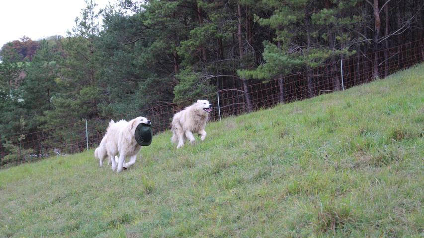 Während des Posierens weht ihm der Wind den Hut vom Kopf. Für die anderen beiden Hunde ein willkommener Spaß.