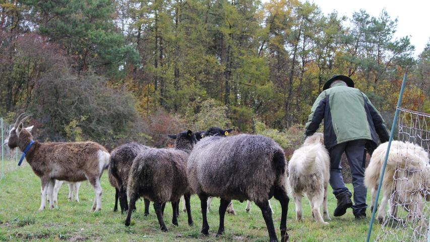 In Begleitung seiner Tiere öffnet der Schafhalter dann einen neuen Weidebereich erstmals.