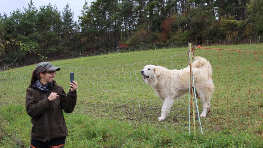 Ein aufgestellter Schwanz bei Herdenschutzhunden drückt keine Freude wie bei anderen Hunden aus. Sie wollen sich dadurch optisch vergrößern und zeigen, dass da und aktiv sind.