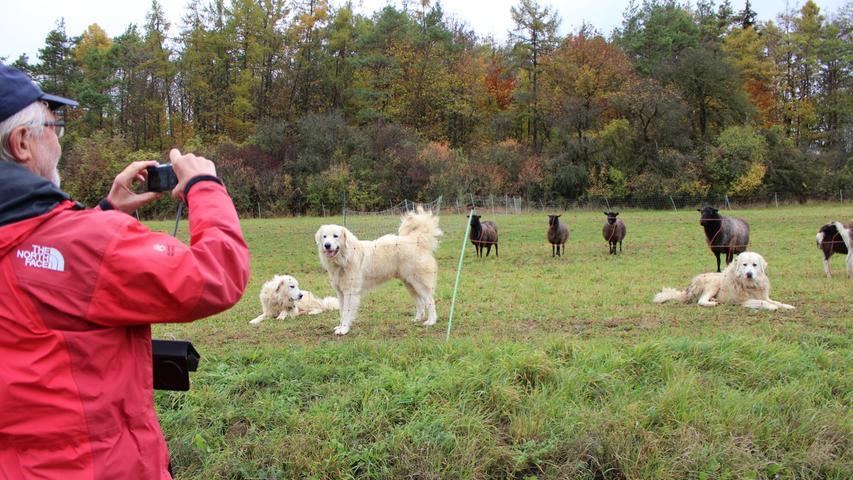 Wer an einer Weide mit Herdenschutzhunden vorbeikommt, sollte zügig vorbei gehen, den Abstand vergrößern, die Tiere nicht füttern oder streicheln, bittet Dobrick eindringlich. Fahrradfahrer sollten zudem absteigen und Hundebesitzer ihre Vierbeiner anleinen. Man brauche sich nicht vor den Pyrenäenhunden zu fürchten, denn sie bleiben hinter dem Zaun. Damit das aber so bleibt, dürfe die Gefahr, also alles, was von außen kommt, nicht stehen bleiben oder gar über den Zaun langen, so der Schafhalter. Zudem dürfen sie nicht zutraulich werden.