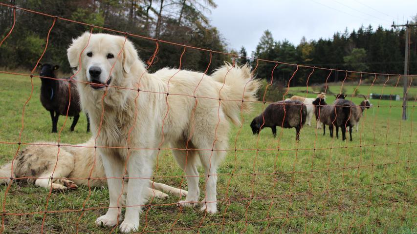 Nach einer Weile und als Peter Dobrick hinzustößt, beruhigen sich die Pyrenäenberghunde.
