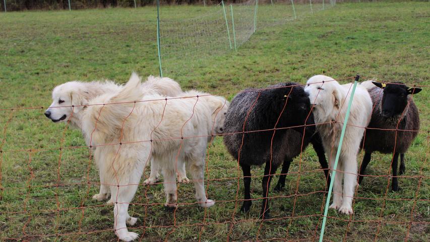 Sind Schafe an Hunde gewöhnt, vertrauen sie ihnen, wie hier zu sehen ist.