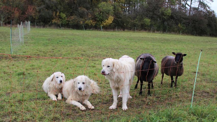 Selbst bei einem Wolfsangriff bleibt die Herde dann ruhig. Denn für sie gibt es keinen Unterschied zwischen Wolf und Hund.
