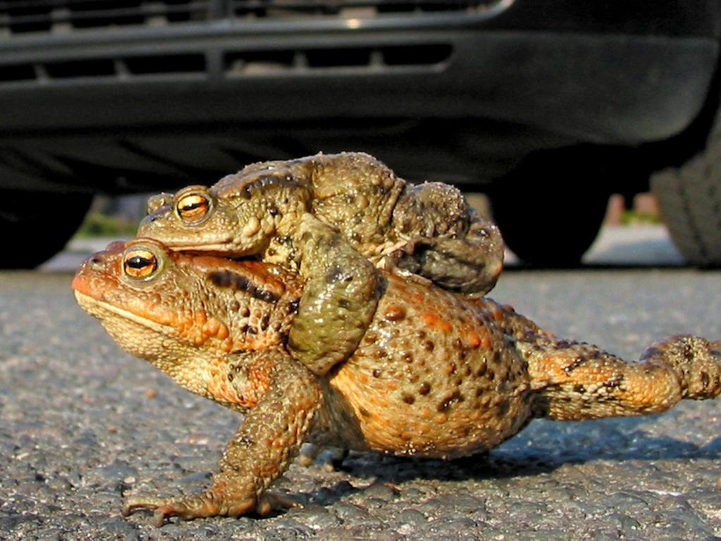 Ein Erdkrötenpärchen versucht die Straße zu überqueren.