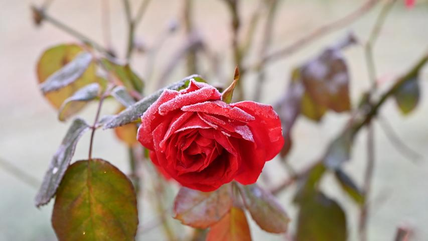 An diesem Morgen kam die Sonne aus Richtung Egloffsein durch das Trubachtal. NN-Leser Martin Landeck schreibt: Im November gab es viele Lichtblicke, einer davon: Als diese Rose, die in meinem Garten noch blüht, mit Reif überzogen wurde und ein paar Sonnenstrahlen auf sie fielen - sie hat einen schönen frostigen Reiz.