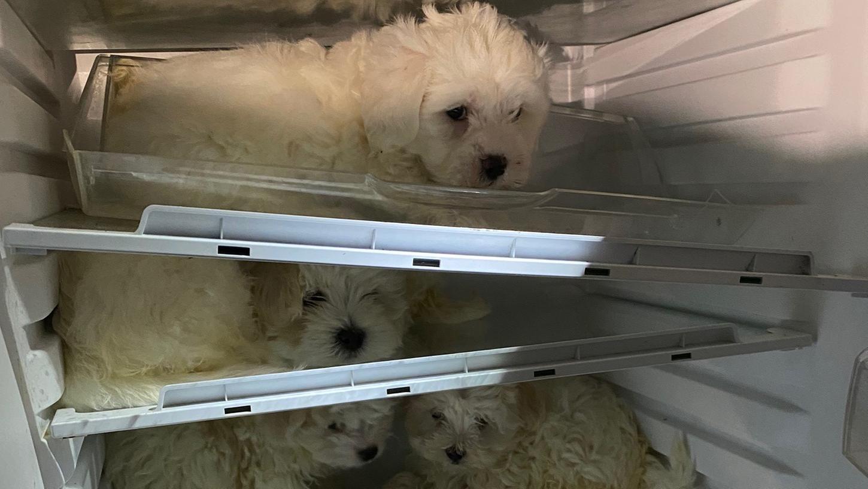 In einem Kühlschrank sind vier Malteser-Welpen eingepfercht. Bei Durchsuchungen in Köln und Düsseldorf hat die Polizei mehrere Hunde befreit, die illegal weiterverkauft werden sollten.