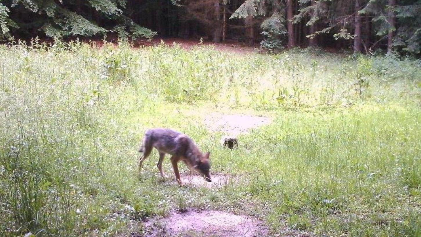 Auf der Suche nach Partner: Seit Kurzem weiß man, dass der Wolf im Landkreis Eichstätt ein Weibchen ist. Wenn die Fähe bleibt und einen Partner findet, könnte es in ein paar Jahren ein Rudel geben.