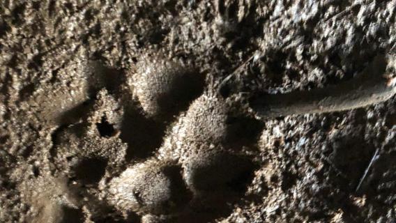 Diese Spuren wurden am Fundortfotografiert. War hier einWolf unterwegs?