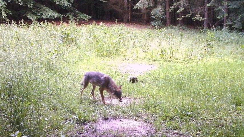 Teile des Landkreises sind nun offiziell Wolfsereignisgebiet: Weil ein Wölfin diesen Frühjahr immer wieder durch das Altmühltal streifte, fallen nun auch Solnhofen, Pappenheim und Langenaltheim in diese Kategorie. Das bedeutet etwa, dass in den genannten Gemeinden Tierhalter Anspruch auf Fördermaßnahmen für Hütehünde haben. Es ist nicht unwahrscheinlich, dass die Wölfin sich niederlässt und im Altmühltal ein Rudel gründet.
