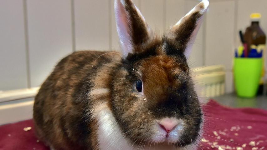 """""""Nala"""" ist eine im Mai 2020 geborene Kaninchendame. Sie hat eine sehr außergewöhnliche dreifarbige Färbung. Nala ist auf der Suche nach einem Partnerkaninchen. Am besten wäre ein kastriertes Kaninchenmännchen in ungefähr dem gleichen Alter. Nala wünscht sich ein Zuhause in Innenhaltung."""