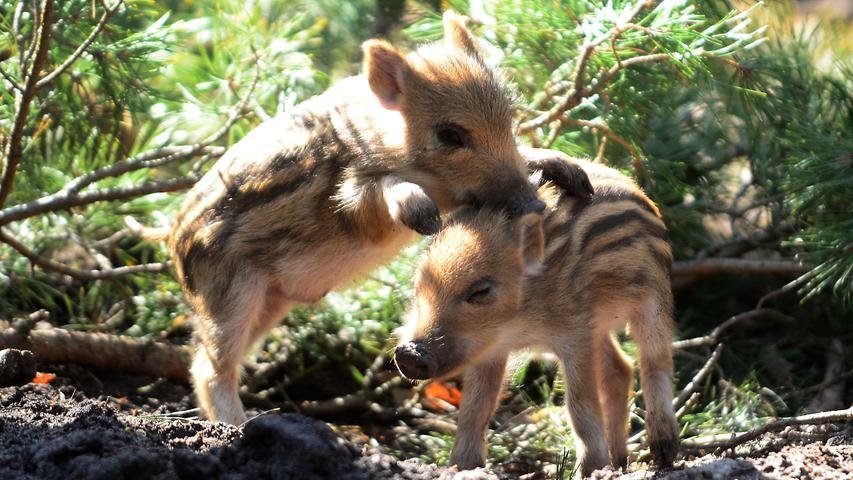 ...und immer einen Besuch wert -besonders, wenn es den putzigen Wildscheinnachwuchs gibt -ist dasim September 1987 eröffnete Schwarzwildgehege im Stadtwald.