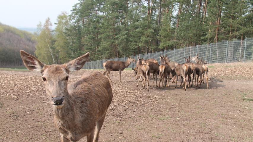 Und nochmal Wild im Stadtwald, diesmal im Rotwildgehege, das nahe der Bauschuttdeponie im Herbst 2018 inklusive Erlebnisweg eingeweiht wurde.