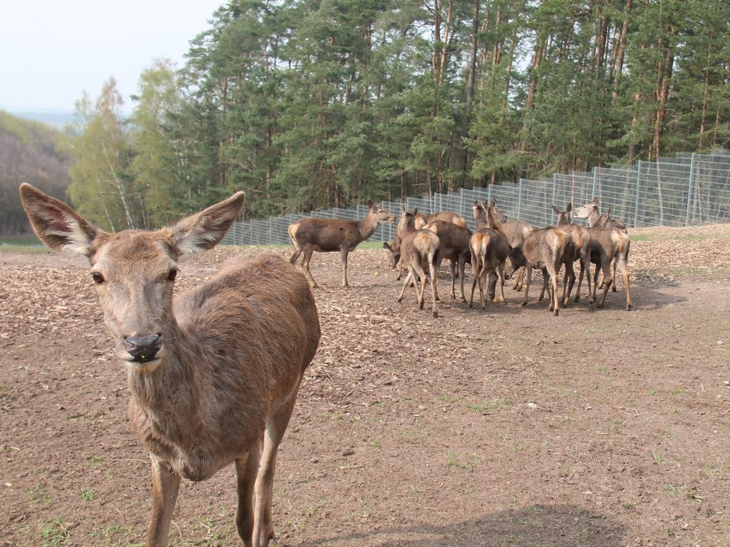 Rotwildgehege im Fürther Stadtwald: Die Tiere haben sich eingelebt. Vor einigen Wochen hat der Hirsch das Geweih abgeworfen, das jetzt nachwächst. Mehrere Weibchen sind trächtig.
