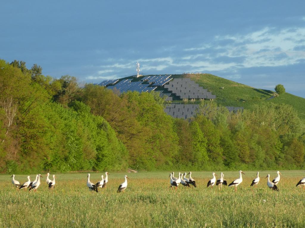 Natur pur zum Sonnenaufgang heute im Wiesengrund: bis zu 28 Störche beim gemeinsamen Frühstück!