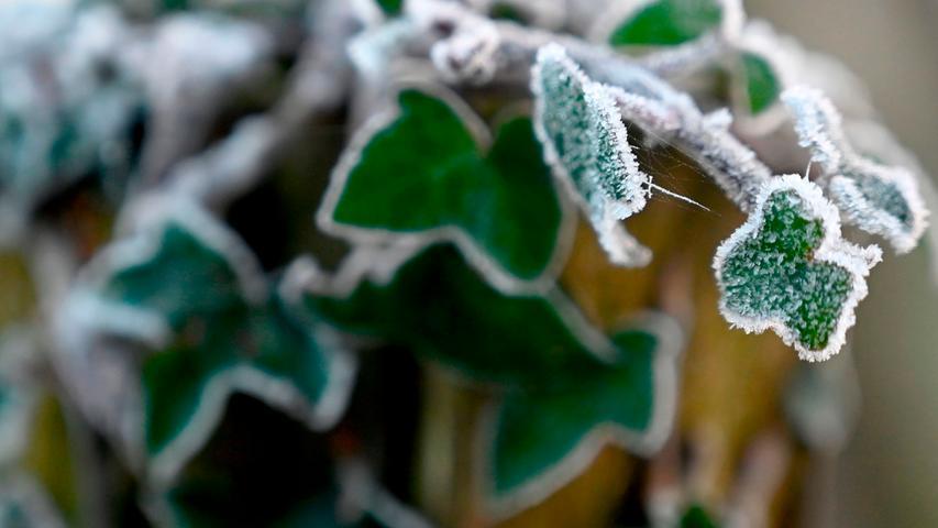 Der erste Frost: Während der Efeu mit kühlen Temperaturen gut klar kommt, reagieren andere Pflanzen empfindlicher.