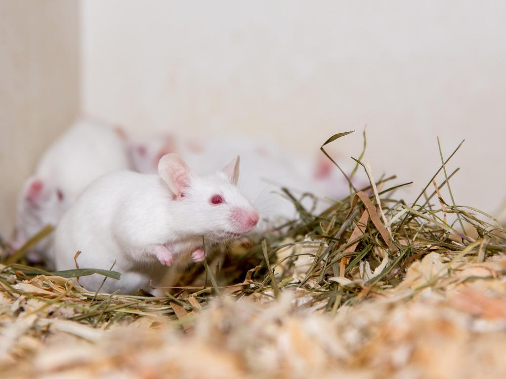 Foto: Keine Angaben - 01/2021 gesp. - überm. von ..n.borchert@tierheim-nuernberg.de..Motiv: Tierheim Nürnberg - Wer hat mich lieb?..Tier- Maus - Farbmaus