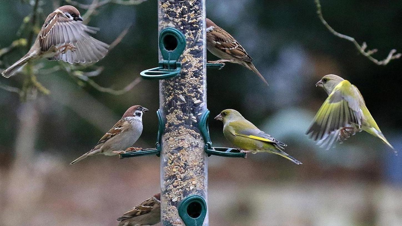 """Der LBV freut sich über eine Rekordbeteiligung bei der """"Stunde der Wintervögel"""". Am häufigsten wurde der Haussperling (Spatz) gesichtet."""