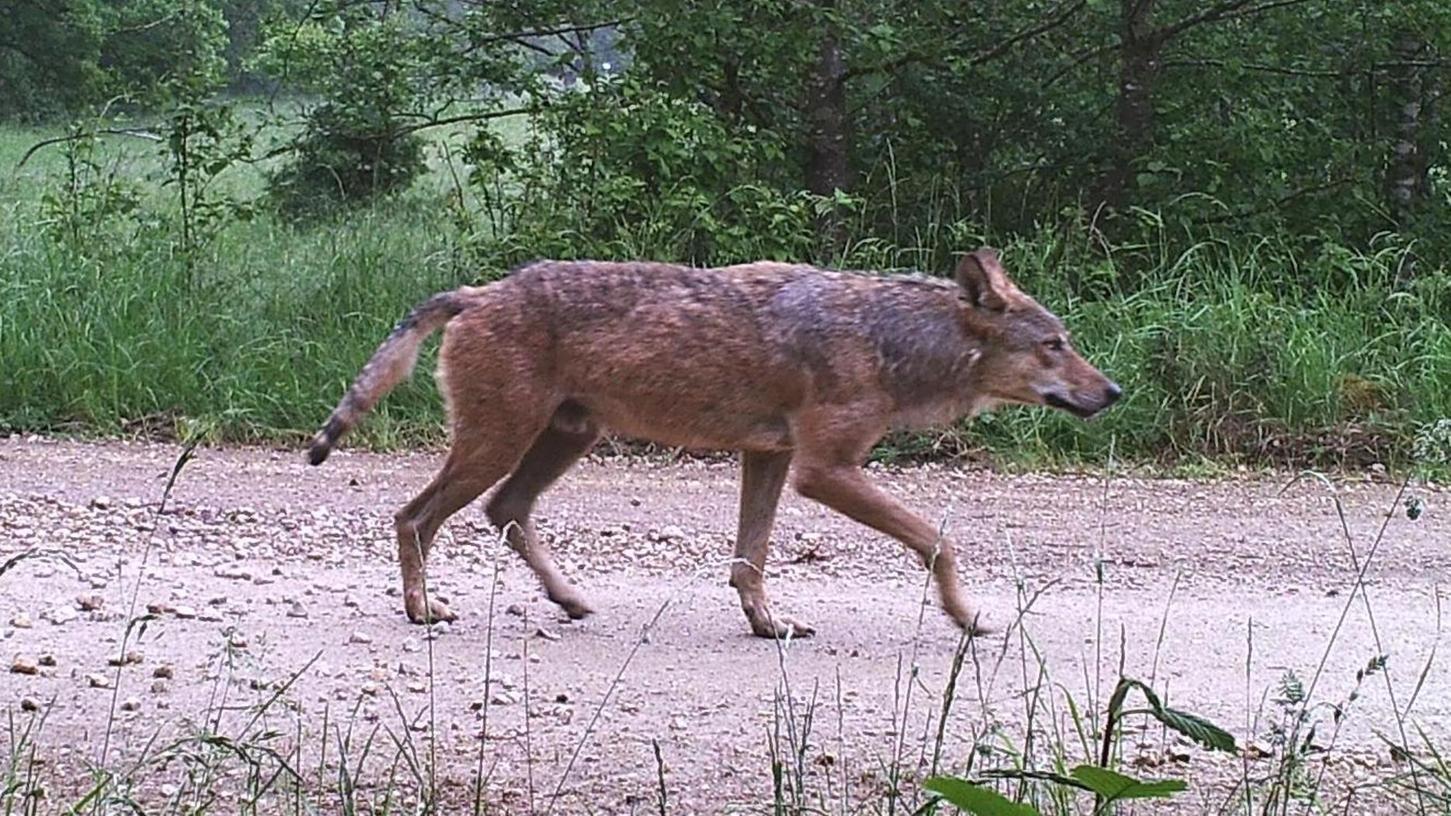 """Im Juni 2020 hat eine Wildtierkamera im Truppenübungsplatz Hohenfels diesen männlichen Wolf """"voll erwischt"""". Aus seiner Losung konnten die staatlichen Wolfbeobachter herauslesen, dass er aus einem Rudel in Sachsen-Anhalt stammt."""