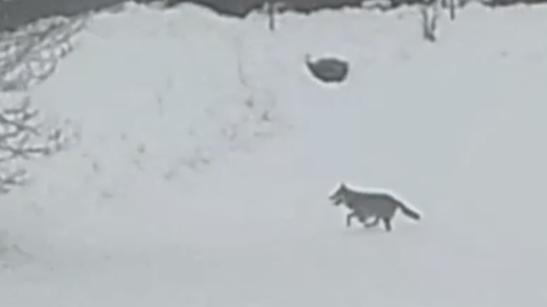 Der Wolf streift zunehmend durch die Orte nahe des Veldensteiner Forstes.