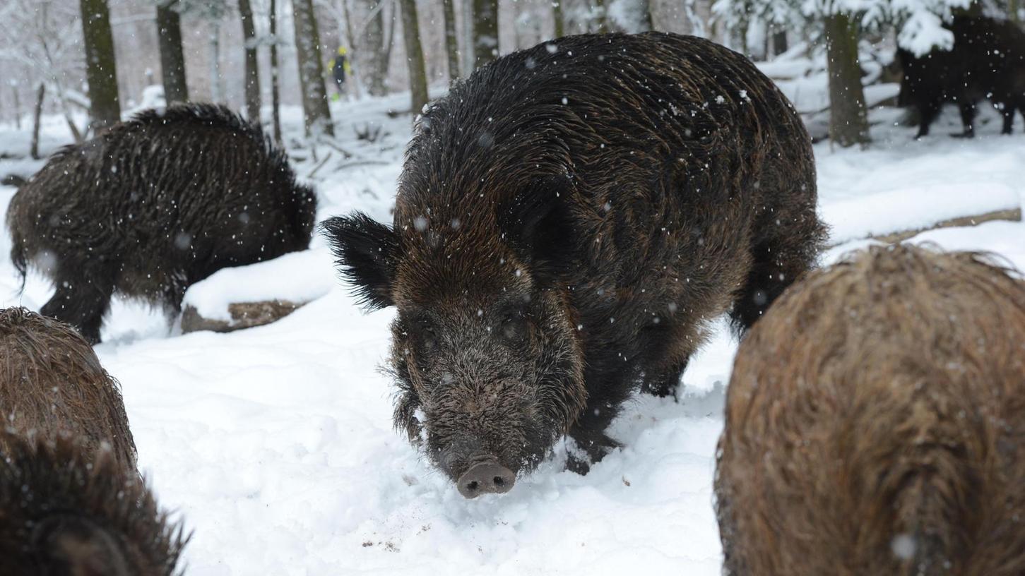 Wildschweine gelten als Überträger der Afrikanischen Schweinepest auf die Hausschweine. Durch verschiedene Aktionen wie Treibjagden soll ihr Bestand verringert werden, um gegen die Ausbreitung der Krankheit anzukämpfen.