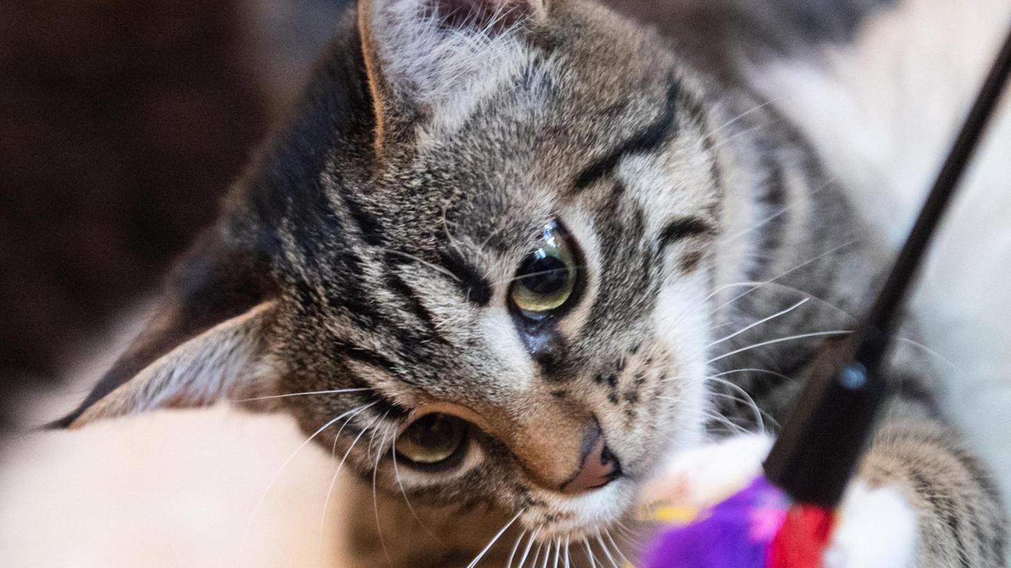 Wo sind all die Katzen geblieben? Die meisten Samtpfoten lieben es zu Hause zu spielen – wie hier auf unserem Symbolfoto – und sie verlassen ihr Revier selten freiwillig.