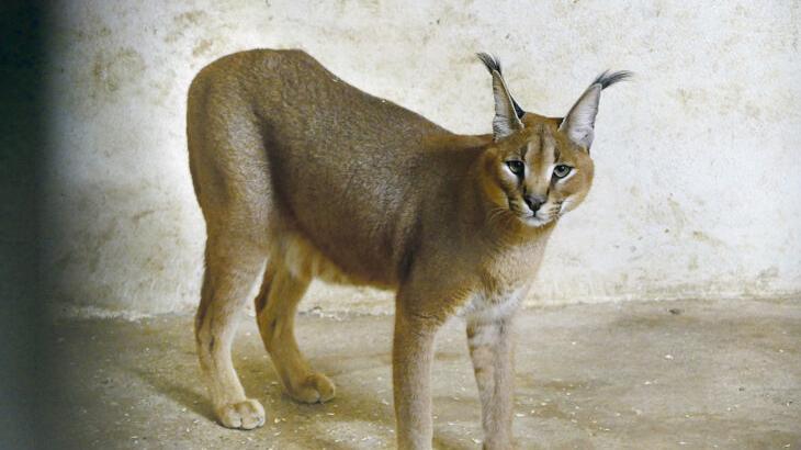 Das Tier im Bild namens Philipp wurde in Weiden in einer Privatwohnung gehalten und daraufhin beschlagnahmt. Nun hat es in Schwaig fürs Erste eine neue Bleibe gefunden.