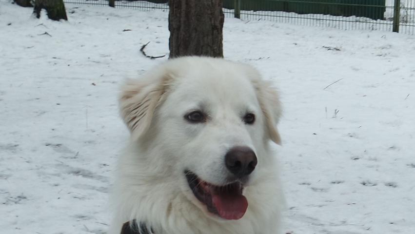 Für Apollo werden Menschen gesucht, die Erfahrung mit Herdenschutzhunden haben. Der Rüde, Rasse Maremmano, ist gerade mal drei Jahre alt und hat schon viel erlebt. Leider war er bisher immer in den falschen Händen und