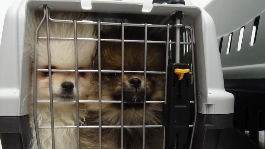 Sechs Zwergspitze und ein Toy Pudel waren eng in nur drei Tierboxen eingepfercht.