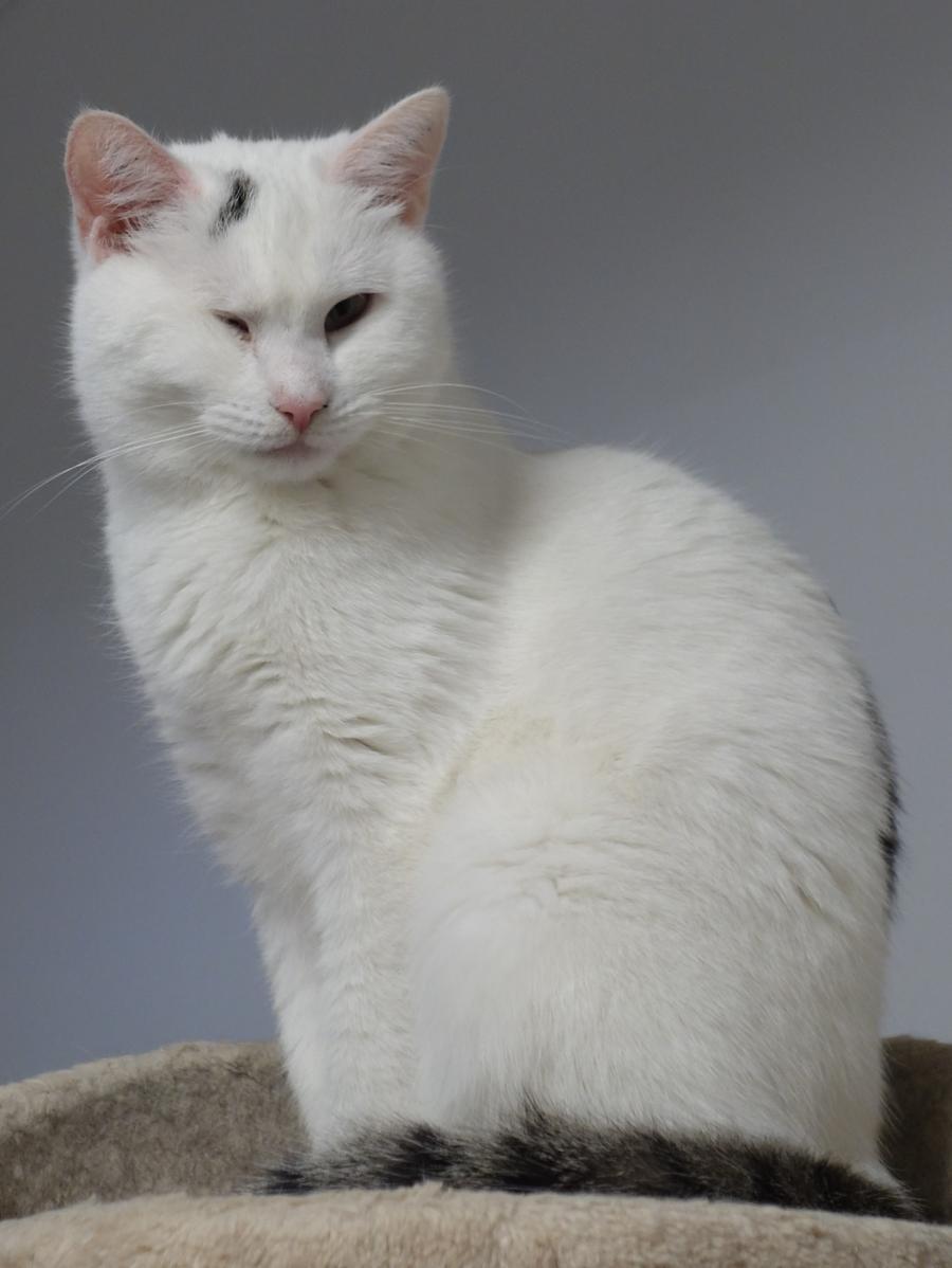"""Für die weiße Katze """"Whitey"""" war ihr bisheriges, kurzes Leben kein Honigschlecken. """"Whitey"""" wurde im Frühjahr 2020 geboren und sie fiel in die Hände einer Katzensammlerin. Zusammen mit vielen anderen Katzen wurde sie im Oktober 2020 befreit und als sie ins Tierheim kam, war sie sehr mager und total verängstigt. Eine der Augenhöhlen war voll mit Eiter, so dass das Auge nicht mehr zu retten war und entfernt werden musste. """"Whitey"""" wurde im Tierheim aufgepäppelt und sie hat sich wieder gut erholt. Die unbeschreiblichen Zustände, unter denen das Kätzchen bis zu seiner Befreiung leben musste, waren nicht gerade geeignet, Vertrauen in Menschen aufzubauen. """"Whitey"""" ist deshalb fremden Menschen gegenüber äußerst zurückhaltend. Aber sie ist noch jung genug, um bei ruhigen Menschen, die Geduld und Katzenerfahrung haben und die ihr die notwendige Zeit geben, zu lernen, dass Menschen ihr nichts Böses wollen. Mit anderen Katzen hat """"Whitey"""" nichts am Hut, so dass sie als Einzelkatze mit späterer Möglichkeit zum Freigang gehalten werden kann.   Das Tierheim Neumarkt bleibt aufgrund der Corona-Pandemie bis auf Weiteres für Besucher, Gassigeher und Katzenstreichler immer noch geschlossen. Beratungsgespräche mit Interessenten, die ein Tier adoptieren möchten, können deshalb erst einmal nur telefonisch stattfinden, danach werden Einzeltermine vereinbart. Die Telefonzeiten für die Tiervermittlung (Anfragen, Beratung und Terminvergabe) sind täglich (außer an Sonn- und Feiertagen) von 14.30 Uhr bis 17 Uhr unter der Telefonnummer (09181) 22862. In Notfällen und im Falle von Fundtieren ist das Tierheim ebenfalls unter dieser Telefonnummer erreichbar.  Hier geht es zur Internet-Seite des Tierheims"""