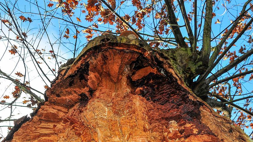 Ein gespaltener Baum am Südfriedhof zeigt großen Überlebenswillen.