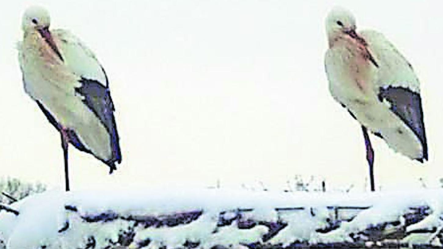 """""""Sie haben ihre Daunenjacken schon an"""": Das Storchen-Ehepaar trotzt auf dem Gebäude der Steinbach Brauerei derzeit Schnee und Kälte."""