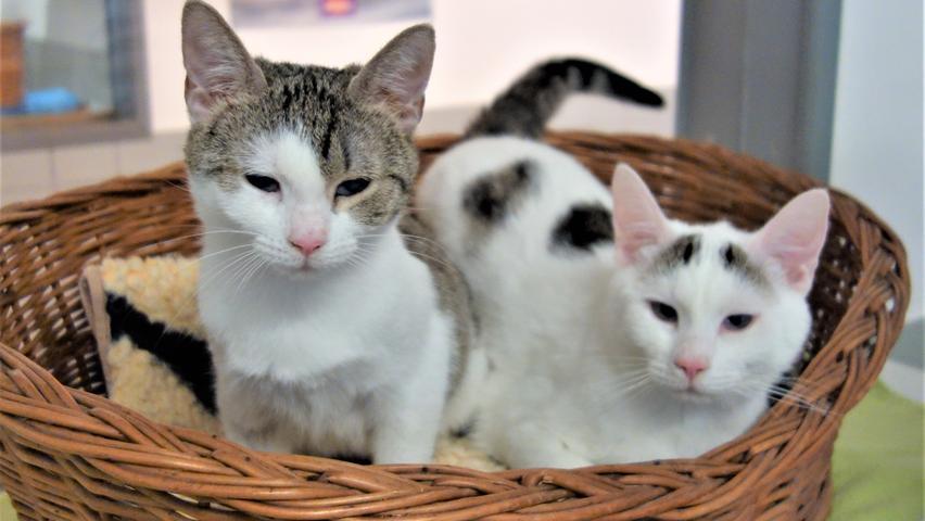 """Unbedingt gemeinsam möchten dagegen die Katzengeschwister """"Lukas"""" und """"Luise"""" in ein neues Zuhause umziehen. Die Geschwister wurden etwa im Juni 2020 geboren und auch sie wurden, wie schon dievor kurzem hier vorgestellte einäugige Katze"""