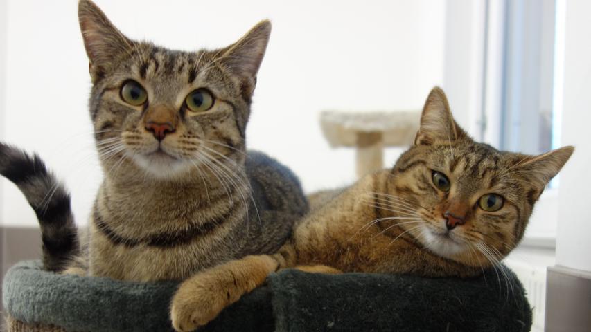 """Die getigerten Katzengeschwister """"Winni"""" und """"Willi"""" sind auch auf der Suche nach einem neuen, ruhigen und liebevollen Zuhause und sie tendieren eher zum Häuschen mit Garten, wobei dieses nicht gerade in der Nähe einer stärker befahrenen Straße liegen sollte. """"Winni"""" und """"Willi"""" sind ebenfalls sehr zutrauliche Katzen, sie sind jetzt etwa 10 Monate alt und nach entsprechender Eingewöhnung möchten sie wieder Freigang haben. Dass die Geschwister nur gemeinsam vermittelt werden, versteht sich von selbst.   Das Tierheim Neumarkt bleibt aufgrund der Corona-Pandemie bis auf Weiteres für Besucher, Gassigeher und Katzenstreichler immer noch geschlossen. Beratungsgespräche mit Interessenten, die ein Tier adoptieren möchten, können deshalb erst einmal nur telefonisch stattfinden, danach werden Einzeltermine vereinbart. Die Telefonzeiten für die Tiervermittlung (Anfragen, Beratung und Terminvergabe) sind täglich (außer an Sonn- und Feiertagen) von 14.30 Uhr bis 17 Uhr unter der Telefonnummer (09181) 22862. In Notfällen und im Falle von Fundtieren ist das Tierheim ebenfalls unter dieser Telefonnummer erreichbar.  Hier geht es zur Internet-Seite des Tierheims"""