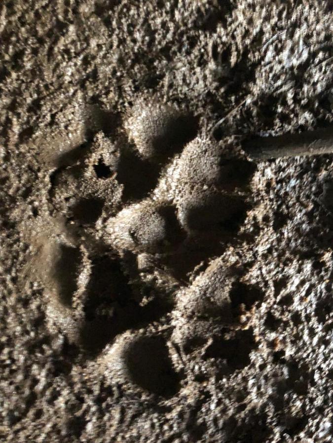 So sieht eine typische Wolfsspur aus. Nachdem nun am Rohrberg ein Schaf gerissen worden ist, stellt sich die Frage, ob man solche Spuren künftig auch in der näheren Umgebung von Weißenburg häufiger zu sehen bekommt.