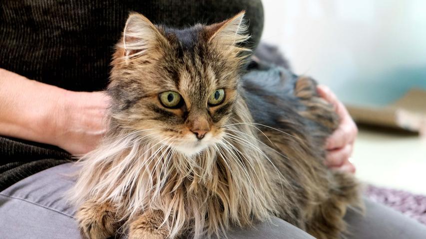 Wer hat mich lieb?Maine-Coone-Katze Langos istsehr gesprächig.