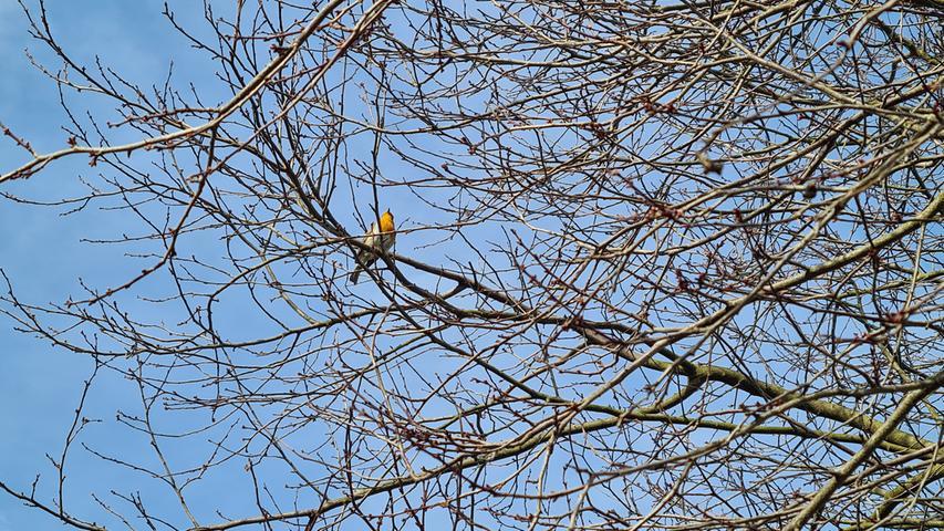 Endlich Frühling. Der Baum ist noch kahl, aber das Rotkehlchen genießt das Wetter trotzdem.