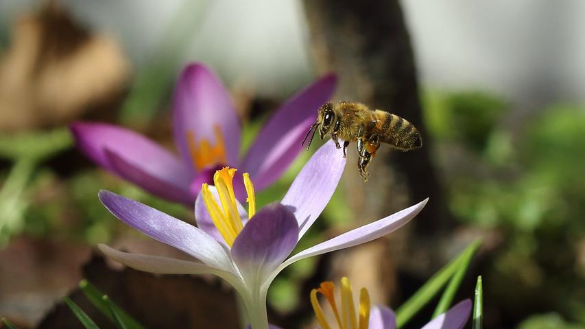 So schnell kann es gehen, letztes Wochenende noch Eiskunstwerke und jetzt der pure Frühling. Die Bienen freuen sich über das Angebot an Pollen und sind eifrig am sammeln.