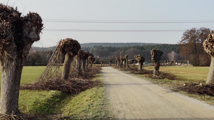 Die Kopfweiden bei Baiersdorf haben ihren Friseurbesuch schon hinter sich.