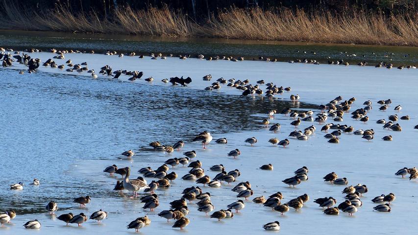 So nach und nach werden die Gewässer wieder Eisfrei. Auf den Restschollen sammeln sich die vielen Wasservögel, wie hier am kleinen Rothsee um die wärmende Frühlingssonne zu genießen.