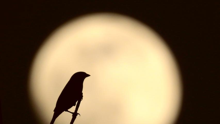 Eine Vogel-Silhouette vor Vollmond.